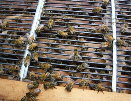 蜜蜂たち.jpg